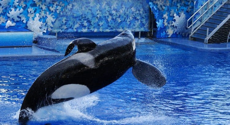 Tilikum - the orca